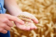Feche acima do fazendeiro Checking Wheat Crop no campo foto de stock