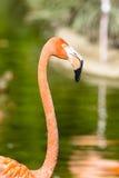 Feche acima do flamingo cor-de-rosa Fotos de Stock Royalty Free