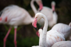 Feche acima do flamingo cor-de-rosa no jardim zoológico Fotografia de Stock