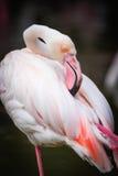 Feche acima do flamingo cor-de-rosa no jardim zoológico Imagens de Stock