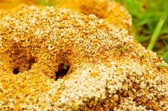 Feche acima do formigueiro em uma floresta da mola, as formigas estão movendo-se em um formigueiro , partes pequenas levando de f Imagem de Stock Royalty Free