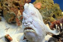 Feche acima do frogfish gigante no aquário foto de stock royalty free
