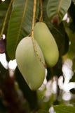 Feche acima do fruto da manga em uma árvore de manga Fotos de Stock Royalty Free