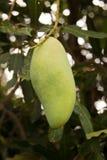 Feche acima do fruto da manga em uma árvore de manga Fotos de Stock