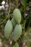 Feche acima do fruto da manga em uma árvore de manga Imagens de Stock