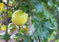 Feche acima do fruto de paixão que pendura no jardim fotos de stock royalty free