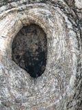 Feche acima do furo de nó da árvore de banyan Imagem de Stock