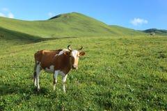 Feche acima do gado na pastagem da montanha alta Fotografia de Stock