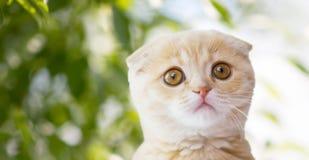 Feche acima do gatinho da dobra do scottish sobre a natureza foto de stock royalty free