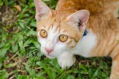 Feche acima do gato alaranjado Imagens de Stock Royalty Free
