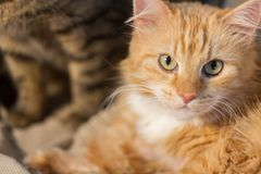 Feche acima do gato de gato malhado vermelho Imagens de Stock