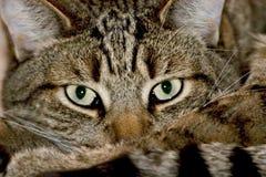 Feche acima do gato doméstico Imagens de Stock Royalty Free