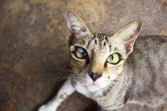 Feche acima do gato dos olhos Imagens de Stock Royalty Free