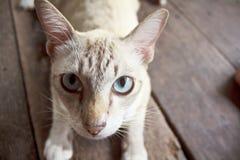 Feche acima do gato dos olhos Fotos de Stock Royalty Free