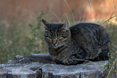 Feche acima do gato macio Fotografia de Stock Royalty Free