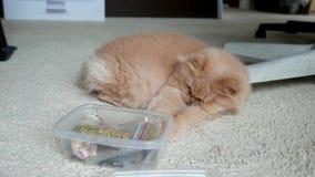 Feche acima do gato persa que joga o brinquedo do catnip filme