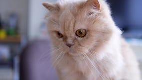 Feche acima do gato persa que senta-se na tabela e que joga com povos vídeos de arquivo