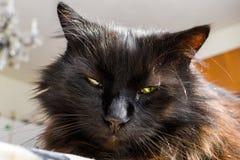 Feche acima do gato preto adulto de Chantilly Tiffany com os olhos verde-amarelos bonitos, relaxe em casa O banho de sol peludo d Imagem de Stock Royalty Free