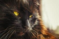 Feche acima do gato preto adulto de Chantilly Tiffany com os olhos verde-amarelos bonitos, relaxe em casa O banho de sol peludo d Imagem de Stock