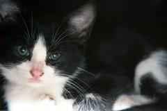 Feche acima do gato preto e branco Fotografia de Stock Royalty Free