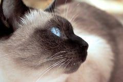 Feche acima do gato siamese de olhos azuis bonito Foco seletivo Imagem de Stock Royalty Free