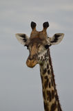 Feche acima do girafa do ` s de Rothschild que enfrenta a câmera Fotos de Stock Royalty Free