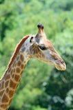 Feche acima do girafa no fundo verde da árvore Fotografia de Stock Royalty Free