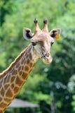 Feche acima do girafa no fundo verde da árvore Fotos de Stock Royalty Free