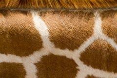 Feche acima do girafa que o teste padrão faz o bom fundo do animal do jardim zoológico Fotografia de Stock Royalty Free