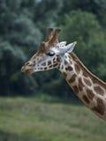 Feche acima do giraffe Imagem de Stock Royalty Free