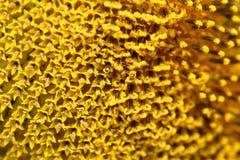Feche acima do girassol do pólen Fotos de Stock Royalty Free