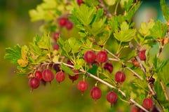 Feche acima do Gooseberry maduro em um Bush Fotografia de Stock Royalty Free