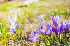 Feche acima do grupo de flores de florescência da mola dos açafrões Fotos de Stock