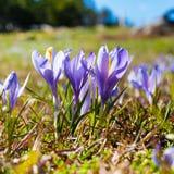 Feche acima do grupo de flores de florescência da mola dos açafrões Imagens de Stock Royalty Free
