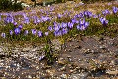 Feche acima do grupo de flores de florescência da mola dos açafrões Fotos de Stock Royalty Free