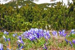 Feche acima do grupo de flores de florescência da mola dos açafrões Fotografia de Stock Royalty Free