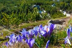 Feche acima do grupo de flores de florescência da mola dos açafrões Fotografia de Stock
