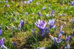 Feche acima do grupo de flores de florescência da mola dos açafrões Imagem de Stock