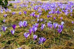 Feche acima do grupo de flores de florescência da mola dos açafrões Imagem de Stock Royalty Free