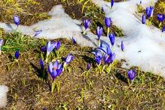 Feche acima do grupo de flores de florescência da mola dos açafrões Imagens de Stock