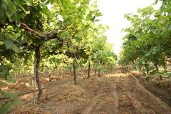 Feche acima do grupo de uvas verdes frescas na videira com as folhas verdes no vinhedo Imagens de Stock