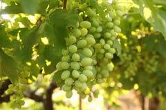 Feche acima do grupo de uvas verdes frescas na videira com as folhas verdes no vinhedo Fotos de Stock Royalty Free