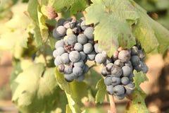 Feche acima do grupo de uvas verdes frescas na videira com as folhas verdes no vinhedo Fotos de Stock