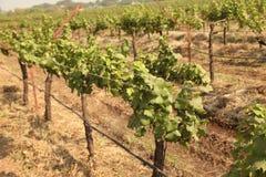 Feche acima do grupo de uvas verdes frescas na videira com as folhas verdes no vinhedo Foto de Stock Royalty Free