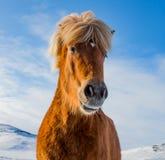 Feche acima do hore avermelhado de Islândia com pele e juba grossas CR2 fotografia de stock