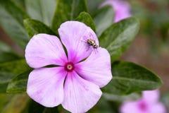 Feche acima do inseto na pétala de Pale Pink Flower imagem de stock