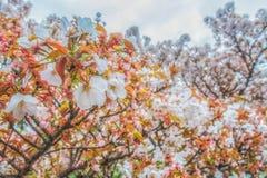 Feche acima do jardim branco Kyoto Japão de sakura da flor completa fotografia de stock