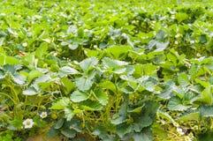 Feche acima do jardim da exploração agrícola da morango Fotos de Stock