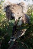 Feche acima do koala imagem de stock royalty free