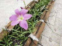 Feche acima do lírio cor-de-rosa bonito da chuva Foto de Stock Royalty Free